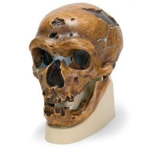 Anthropological-Skull-Model-La-Chapelle-aux-Saints