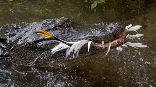 Dinets-et-al-2013-American-alligator-grabs-egret-600-px-tiny-Nov-2013-Darren-Naish-Tetrapod-Zoology