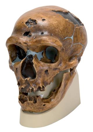 VP751-1_01_1200_1200_Homo-neanderthalensis-Skull-La-Chapelle-aux-Saints-1-Replica