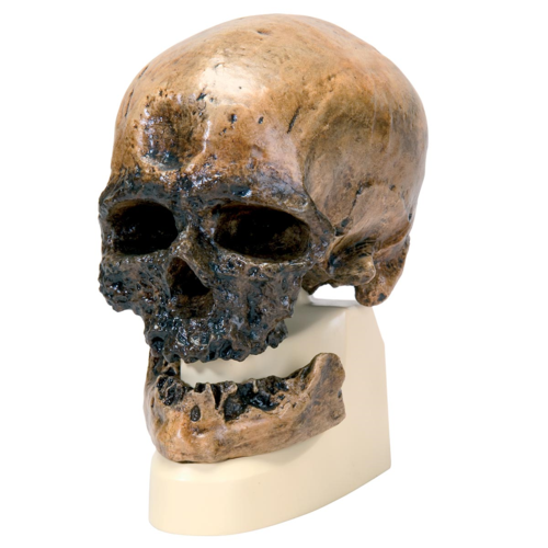VP752-1_01_1200_1200_Anthropological-Skull-Model-Cro-Magnon